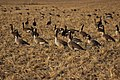 Canada goose - Branta canadensis (43958649355).jpg