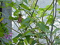 Canarina canariensis0.jpg