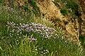 """Cap Gris-Nez - Côte d'Opale - View SSW on abundance of Armeria maritima- """"Thrift"""", """"Sea thrift"""", """"Sea pink"""" - """"Engels Gras"""".jpg"""