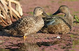 Cape Shoveler, Anas smithii (female - brown eyes & male - yellow eyes) at Marievale Nature Reserve, Gauteng, South Africa (8836930779).jpg