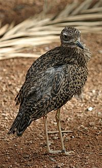 Cape Thick-knee at the Henry Doorly Zoo, Omaha, Nebraska (2006-09-30)
