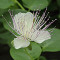 Capparis spinosa-IMG 4422.jpg