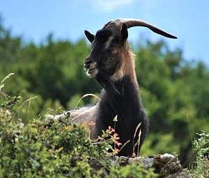 Montecristo - Montecristo's goat (Capra hircus)