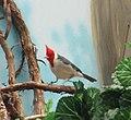 Captive Red-crested cardinal (Paroaria coronata).jpg