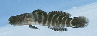 <i>Gobiosoma</i> genus of fishes