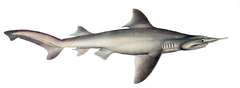 Carcharias oxyrhynchus by muller and henle.png