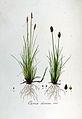 Carex dioica — Flora Batava — Volume v6.jpg