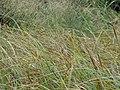 Carex utriculata (6442157653).jpg