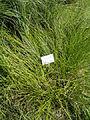 Carex vulpinoidea - Botanical Garden in Kaisaniemi, Helsinki - DSC03533.JPG