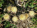 Carlina vulgaris3.jpg
