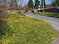 Carpet of celandines - geograph.org.uk - 1463646.jpg
