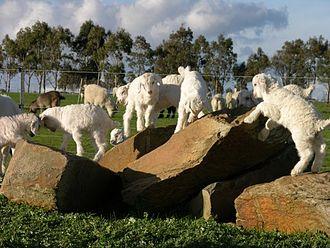 Australian Cashmere goat - Cashmere kids playing