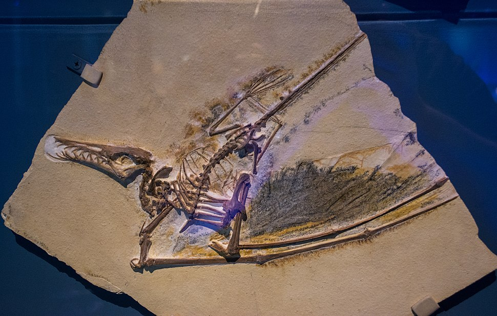 Cast of Rhamphorhynchus muensteri 02 - Pterosaurs Flight in the Age of Dinosaurs
