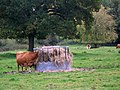 Cattle at Chettle - geograph.org.uk - 1030059.jpg