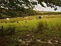 Cattle by Grendon Lane - geograph.org.uk - 574085.jpg