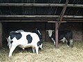 Cattle in cowshed at Muckley, Shropshire, England.jpg