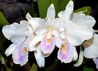 Cattleya quadricolor Orchi DOG 062.jpg