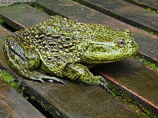 <i>Calyptocephalella</i> species of amphibian