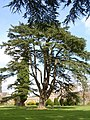 Cedar tree in grounds of Hampton Court - geograph.org.uk - 400880.jpg