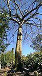 Ceiba speciosa, silk floss tree, at Huntington Library, Art Collections and Botanical Gardens.jpg