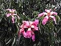 Ceiba speciosa-3-cubbon park-bangalore-India.jpg