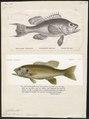 Centropristis atrarius - - Print - Iconographia Zoologica - Special Collections University of Amsterdam - UBA01 IZ12900134.tif