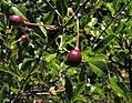 Cerasus fruticosa плоди.jpg