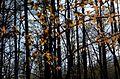 Cerasus jamasakura - Flickr - odako1 (7).jpg