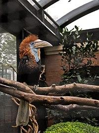Ceratogymna elata -Hong Kong Zoo-8a.jpg