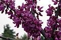 Cercis canadensis texensis Oklahoma 2zz.jpg
