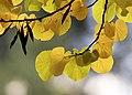 Cercis siliquastrum - Judas tree 13.jpg