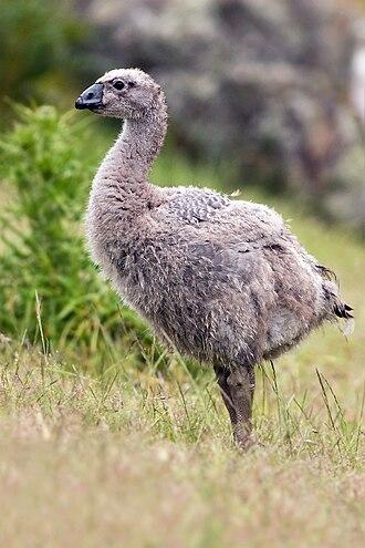 Cape Barren goose - Juvenile on Maria Island
