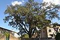 Chêne vert de Mirepoix (1).jpg