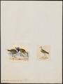Charadrius xanthocheilus - 1700-1880 - Print - Iconographia Zoologica - Special Collections University of Amsterdam - UBA01 IZ17200193.tif