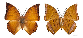 ♂ - - Two views of same specimen :: Locality: ...