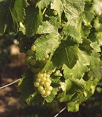 Chardonnay Avize.jpg