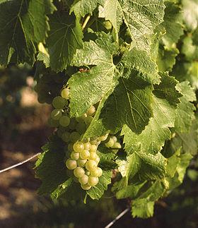 chardonnay  - winne szczepy - lubimywino.pl