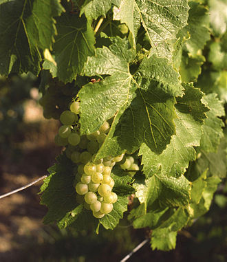 Chardonnay - Chardonnay grapes in Champagne