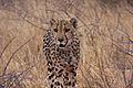 Cheetah (Acinonyx jubatus) (8603341711).jpg