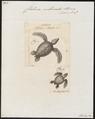 Chelonia imbricata - 1700-1880 - Print - Iconographia Zoologica - Special Collections University of Amsterdam - UBA01 IZ11600195.tif