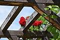 Chemnitz botanischer garten rosen.JPG