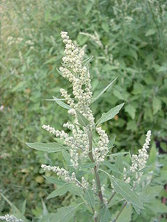 Chenopodium album01.jpg