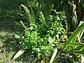 Chenopodium bonus-henricus sl28.jpg