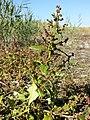 Chenopodium chenopodioides sl2.jpg