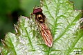Chequered hoverfly (RL) (13900638457).jpg