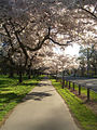 Cherry blossoms in Christchurch, New Zealand.jpg