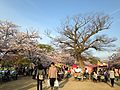 Cherry blossoms in Ohori Park 2.jpg