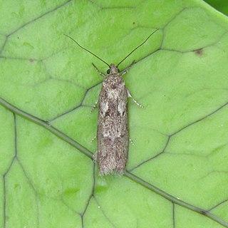 <i>Chersadaula ochrogastra</i> Species of moth