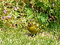 Chichester - Greenfinch (1) - geograph.org.uk - 1371015.jpg