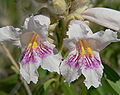 Chilopsis linearis 4.jpg